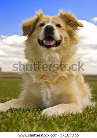 Golden Retriever Laying Down On Grass Against Cloudy Blue Sky - stock photo