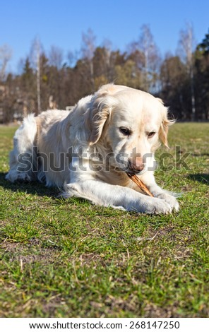 Golden retriever lies on the lawn and gnaws the stick. - stock photo