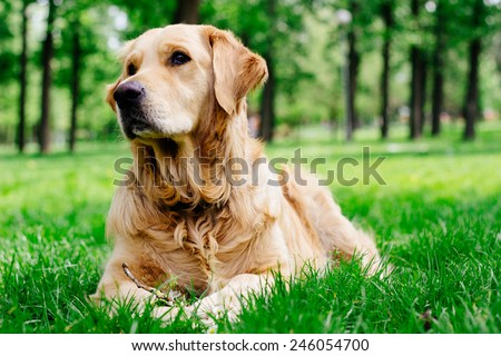 Golden Retriever listening  - stock photo