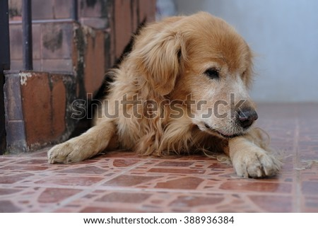 Golden Retriever Lonely