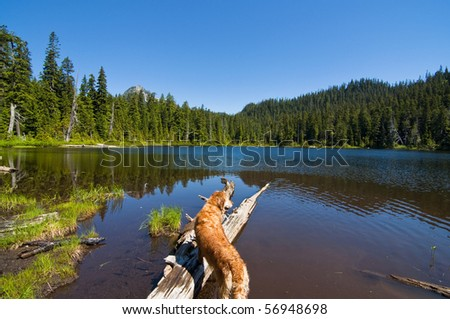 Golden Retriever looking out into gorgeous Lodge Lake in western Washington on a beautiful sunny day