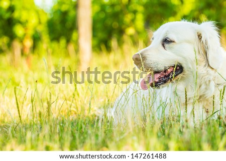 Golden retriever lying down on green grass during hot sunny day - stock photo