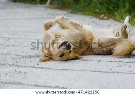 Golden Retriever lying down on his back. Close up