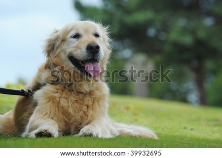 Golden retriever lying down waiting for owner