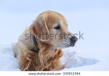 Golden Retriever lying in snow - stock photo