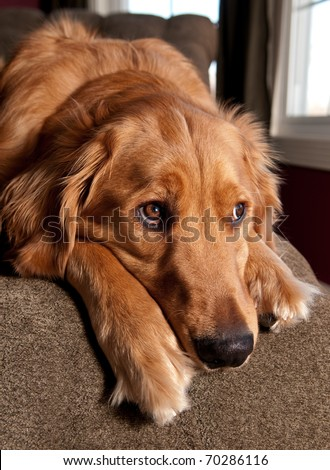 Golden Retriever lying on a green chaise lounge and looking out a window. - stock photo