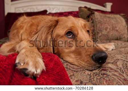 Golden Retriever lying on bed with decorative pillows and blanket.