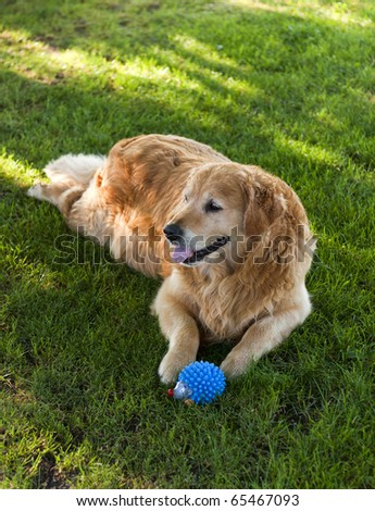 Golden retriever lying on the grass with his toy.