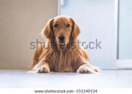Golden retriever lying on the ground