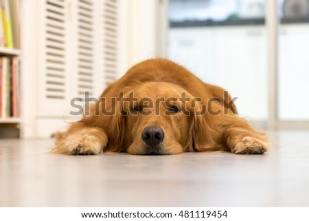 Golden retriever lying on the ground to sleep