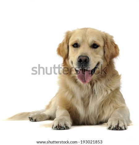 Golden Retriever lying on the white studio