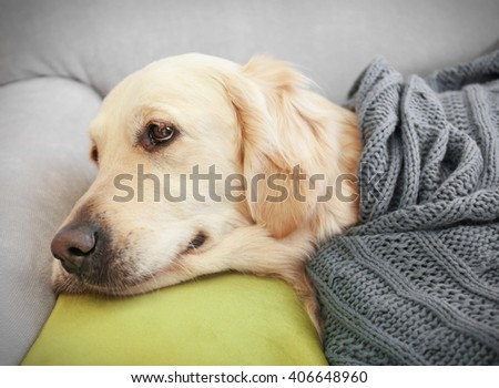Golden retriever lying under the blanket on a sofa at home - stock photo