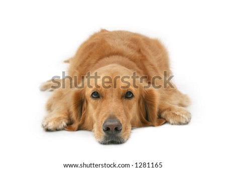 Golden retriever lying with head down looking at camera