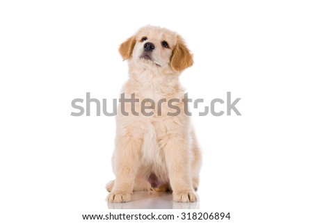 Golden retriever  male puppy sitting and looking up isolated on white background