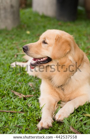Golden Retriever on nature background
