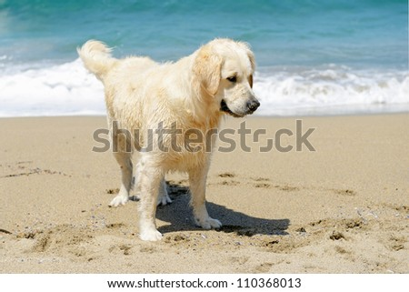 golden retriever on the beach