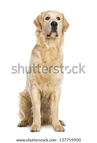 Golden Retriever, one year old, stting, isolated on white