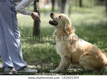 Golden Retriever outdoor training process - stock photo