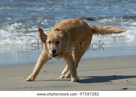 Golden Retriever playing at San Diego beach - stock photo