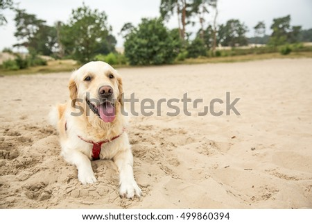 Golden retriever playing in the sand dunes in Holland