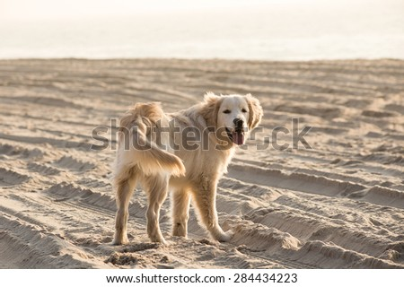 Golden retriever playing in the sand, the sea