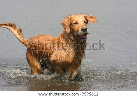 Golden retriever playing in the water - stock photo