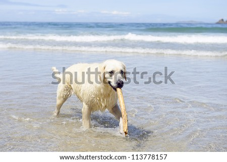 golden retriever playing on the beach