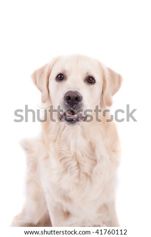 Golden Retriever Portrait - Isolated over white background