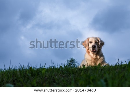 Golden Retriever posing for an outdoor portrait on a cloudy day. - stock photo