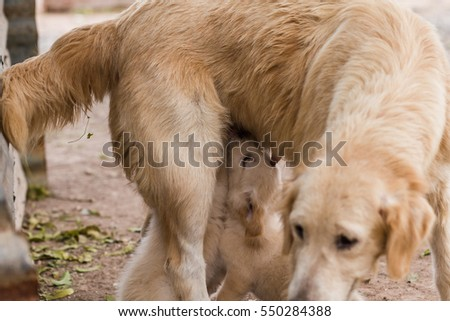 Golden retriever puppies drinking milk from mother