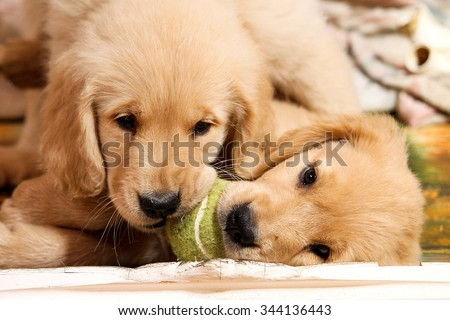 Golden Retriever puppies playing with a tennis ball