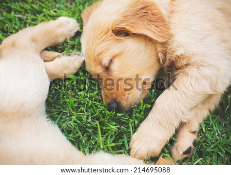 Golden Retriever Puppies Sleeping in the Yard - stock photo