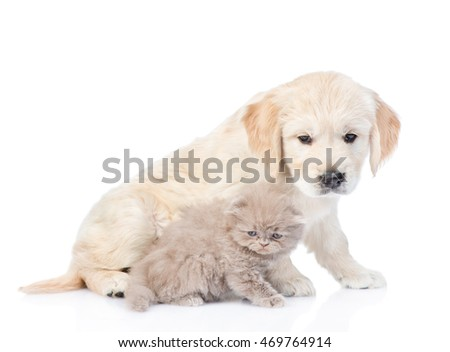 Golden retriever puppy and kitten sitting in side view together. isolated on white background