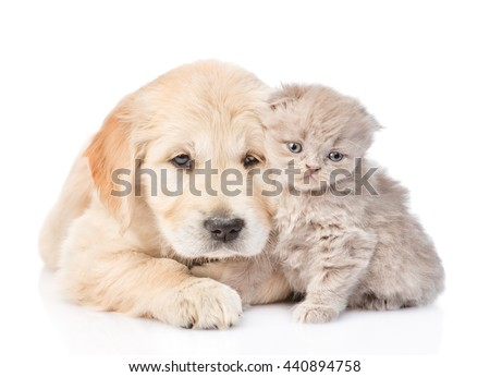 Golden retriever puppy and tiny kitten together. isolated on white background - stock photo