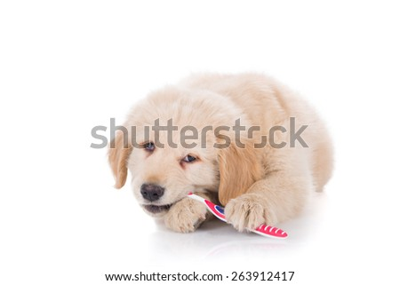 Golden Retriever puppy brushing his teeth biting front view