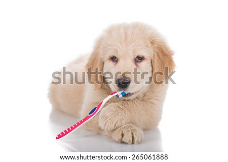 Golden Retriever puppy brushing his teeth front view - stock photo