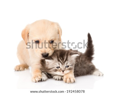golden retriever puppy dog and british cat together. isolated on white background