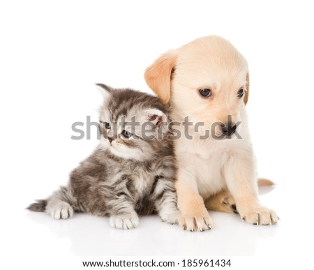 golden retriever puppy dog and british tabby cat sitting together. isolated on white background