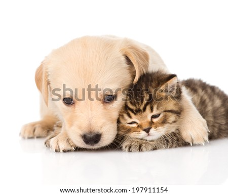 golden retriever puppy dog hugging scottish cat. isolated on white background