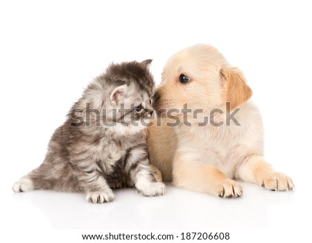 golden retriever puppy dog kisses british tabby cat - stock photo