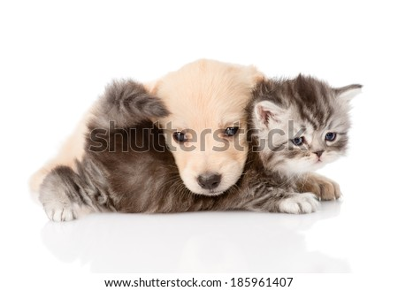golden retriever puppy dog playing with british kitten. isolated on white background