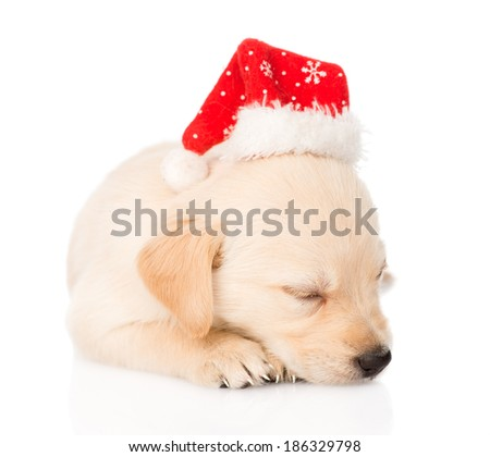 golden retriever puppy dog with santa hat. isolated on white background - stock photo