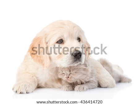Golden retriever puppy embracing kitten. isolated on white background