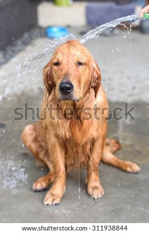 Golden retriever puppy gets a bath - stock photo