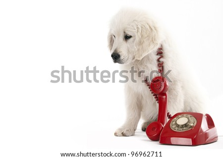 golden retriever puppy holding a red phone old - stock photo