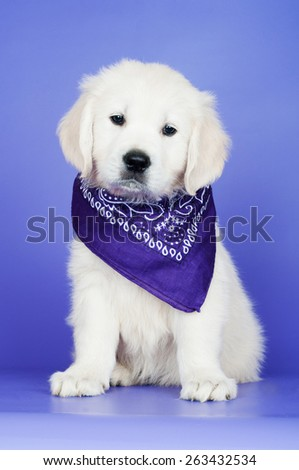 golden retriever puppy in a bandana - stock photo