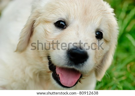 Golden retriever puppy is sitting in the grass - stock photo