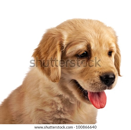 Golden retriever puppy isolated on white - stock photo
