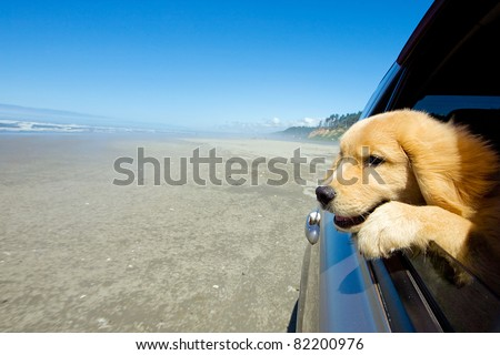 Golden Retriever puppy looking out the car window at the beach