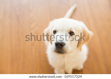 Golden retriever puppy looking up - stock photo